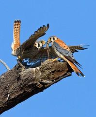AMERICAN KESTRELS (sea25bill) Tags: california morning blue sky sun tree birds spring lizard raptor falcon americankestrel