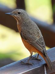 Melro-das-rochas do Cabo // Cape Rock-Thrush (jvverde) Tags: bird ave aves avifauna nature southafrica watervalboven acraretreat acraretreatmountainviewlodge birds monticolarupestris melrodasrochasdocabo geo:lat=2564896646277698 geo:lon=30342865649143278 geotagged caperockthrush natureza wildbird wildlife wild selvagem birding birdwatch aoarlivre pássaros pássaro bir natural oiseau vogel 鸟 鳥 पक्षी птица pájaro طائرپرنده 새 uccello ਪੰਛੀ પક્ષી knp kruger krugerpark krugernationalpark áfrica áfricadosul uccelloaves emliberdade onwild nanatureza lintu طَائِر madár পাখি ფრინველები թռչուններ ܛܝܪܐ பறவை สัตว์ปีก پنچھی پرندہ