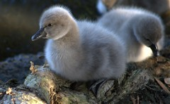 cygnet (loobyloo55) Tags: bird nature animal canon wildlife sydney cygnet australia wetlands blackswan floraandfauna sydneyolympicpark australianwildlife australianbird specanimal fantasticnature 400d canoneos400d alilttlebeauty earthnaturelife allofnatureswildlifelevel1 allofnatureswildlifelevel2 highqualityanimals sunrays5 me2youphotographylevel1 freedomtosoarlevel1birdphotosonly animailia