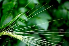 Natural lines (nehad1) Tags: green nature barley grn gerste grannen