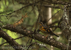 "Varied Thrush • <a style=""font-size:0.8em;"" href=""http://www.flickr.com/photos/63501323@N07/7454798348/"" target=""_blank"">View on Flickr</a>"