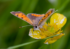 IMG_0058 Small Copper (Lycaena phlaeas), Attleborough Fields, Nuneaton, Warwickshire 13June12 (Lathers) Tags: warwickshire nuneaton smallcopper lycaenaphlaeas canon7d canonef100f28lisusm attleboroughfields