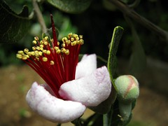 Feijoa flower (SS) Tags: camera new light red summer italy white flower macro verde green nature colors june composition contrast canon garden photography countryside mood angle bokeh pov branches year perspective gimp powershot framing fiore bianco tone comments lazio blooming feijoa a480