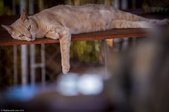 Lanai-cat-sanctuary-288.jpg (ThePlanetD Travel Blog) Tags: usa hawaii lanai catsanctuary