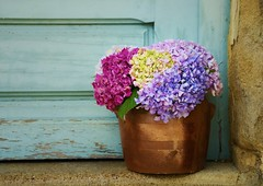 At my Doorstep (Tinina67) Tags: door plant france flower head daily pot tina hydrangea challenge doorstep odc gers ourdailychallenge tinina67 aumarron hortemsie