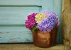 At my Doorstep (Tinina67) Tags: door plant france flower head daily pot tina hydrangea challenge doorstep odc gers ourdailychallenge tinina67 aumarron hortemsie