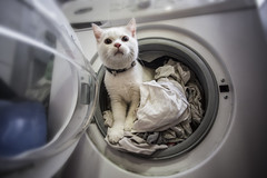 4K4A0452 (maytetxu) Tags: white blanco cat naughty lava kitten gate soft machine rope dirty clothes blanca wash hide curiosity washing sucia suave lavadora curiosidad escondite esconder traviesa