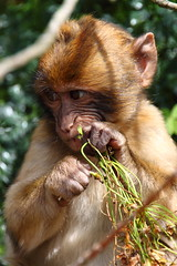 Barbary macaque in Gibraltar (monchoparis) Tags: uk canon eos monkey mono ape gibraltar singe 500d barbarymacaques macacasylvanus gibraltarbarbarymacaques tamron18270