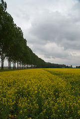 Fields of Gold (j.elemans) Tags: summer sun holland tree nature dutch yellow nijmegen sony boom beuningen gelderland a300 coleseed mygearandme mygearandmepremium mygearandmebronze mygearandmesilver mygearandmegold