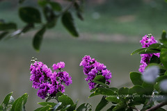 jarul ful (HamimCHOWDHURY  [Active 01 Feb 2016 ]) Tags: life pink blue red portrait white black green nature yellow canon eos colorful purple faces sony gray magenta violet surreal ash dhaka dslr vaio rgb bangladesh 60d framebangladesh incrediblebengal gettyimagesbangladeshq2012 01611595036