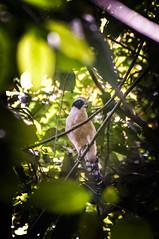Falcon (Glockoma) Tags: bird bay costarica corcovado falcon drake centralamerica corcovadonationalpark drakebay bahiadrake