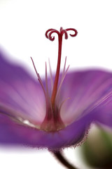 purple DoF (DeeeB) Tags: uk white flower macro green petals stem focus dof purple buckinghamshire stamen deeeb july2012