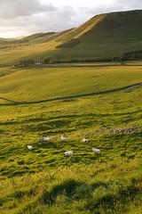 Dreva Gold (Donald Beaton) Tags: uk light sun canon landscape gold golden scotland sheep hill escocia 1750 tamron broughton borders schottland ecosse 450d dreva