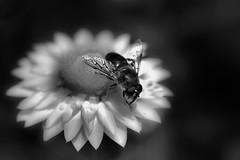 Flowers and insects in black and white. (CWhatPhotos) Tags: pictures camera white black flower macro nature monochrome field closeup digital canon insect that lens eos prime fly foto dof close image artistic pics picture pic images 100mm have fotos 7d dslr which depth contain cwhatphotos