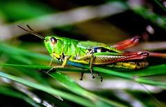 Sumpfgrashüpfer (Jäger & Sammler) Tags: insect grasshopper insekt grashüpfer sumpfgrashüpfer me2youphotographylevel1 unlimitedinsectslevel1