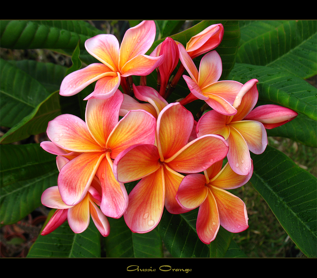 The worlds best photos of flowersinbloom and plumeria flickr hive rare flowers the plumeria aussie orange mad plumerian tags flowers canon thailand izmirmasajfo
