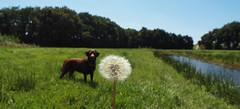 Bijna even groot! (Geziena) Tags: dog holland labrador nederland natuur olympus hond gras bloem pluis achtergrond paardebloem e620