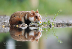 Mirror... (viece.remmington) Tags: ifttt 500px water nature flower animal cute funny mirror wildlife hamster sweet refelction spiegelung feldhamster