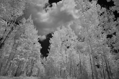 Tall Aspens (arbyreed) Tags: arbyreed infrared ir bw blackandwhiteinfrared 665nanometerinfrared irmodifiedcamera modifiedcanon20d uintamountains sunny bright trees aspens aspentrees tall mountain mountainaspentrees summitcountyutah