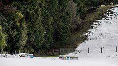 Land of sheep and honey (NOL LUV DI) Tags: snow napier hawkesbay