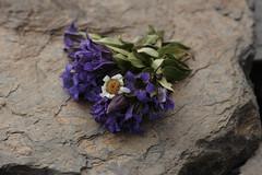 gather flowers in the vast garden (Sotaro.N) Tags: gentiana pyrethrum リンドウ シロバナムシヨケギク 菊 tanacetum cinerariifolium svaneti
