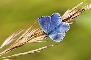Polyommatus bellargus ♂ - Azuré bleu céleste ♂