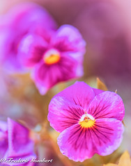 pink summer (frederic.gombert) Tags: pansy light flower flowers sun leaf spring summer sunlight sky season sweet south soft nikon d810 dof greatphotographers