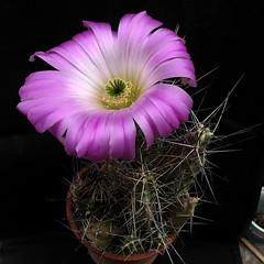Echinocereus pentalophus '163' (Pequenos Electrodomsticos) Tags: cactus cacto flower flor echinocereus echinocereuspentalophus