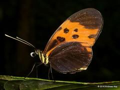 Melinaea marsaeus (Ecuador Megadiverso) Tags: andreaskay ecuador butterfly melinaeamarsaeus nymphalidae