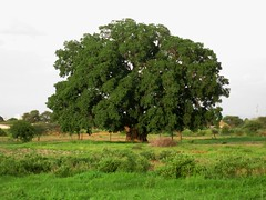 Mkuyu - Sycamore Fig (Kiliweb) Tags: mkuyu sycamore fig dodoma tanzania