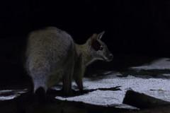 Wallaby (tik_tok) Tags: singapore singaporezoo nightsafari asia animal wallaby night