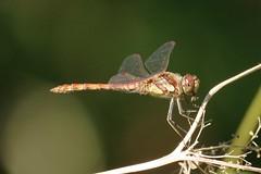 IMGP1313 Common Darter, Waresley Wood,  August 2016 (bobchappell55) Tags: cambridgeshire waresleywood commondarter dragonfly insect invertebrate woodland nature reserve wildlife bcnwildlifetrust