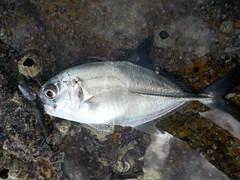 Koh Samui (soma-samui.com) Tags: thailand kohsamui fish