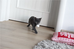IMG_2516 (murkla_la) Tags: cat russianblue moussie gray graycat