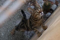 Hello there! (alessandra.butti) Tags: cat gatto kitten gattino randagio stray animal animale eyes occhi perspective prospettiva outdoor isoladelba italia italy nikon d3200 1855