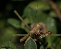 Tasty (flintframer) Tags: praying mantis indiana backyard macro color nature wildlife new albany