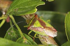 Hawthorn Shieldbug - Acanthosoma haemorrhoidale (Prank F) Tags: cambourne wildlifetrust cambsuk wildlife nature insect macro closeup bug shieldbug hawthorn acanthosomahaemorrhoidale