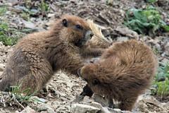 rumble on the ridge (ehansenpawa) Tags: wildlife washingtonstate olympicmarmots olympicnationalpak olympicpeninsula marmot marmots