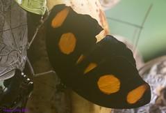 K46A8005 (Yvonne23021984) Tags: schmetterling butterfly hamm germany deutschland maxipark markro photography macrophotography canon canonphotography markofotografy canoneos7dmarkii insects insekten nature naturfotografie naturephotography closeup colorkey schmetterlinge butterflies