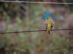 (calnhrs1) Tags: bird pssaro canrio pousado parado fio ave aves passarinho