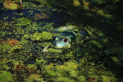 Axanthic Green Frog (Salamanderdance) Tags: axanthic green frog amphibian summer blue rana clamitans animal pond duckweed female
