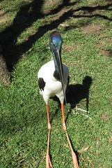 Black-necked Stork (Jabiru) (Mal Doobie) Tags: featherdale animal bird featherdalewildlifepark australianwildlife sydney jabiru blackneckedstork stork endangered