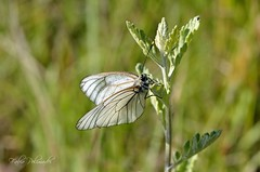 Pieride del biancospino (Fabio Polimadei) Tags: butterfly lepidoptera nature insect pieride aporia wildlife