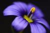 Devon Skies Blue (SplutterBug) Tags: blueflowerdevonskiesspringmacrocloseup floralart doublefantasy