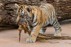 Mischievous... (ragtops2000) Tags: cub amur russia endangered young zoo henrydoorly nebraska omaha cute mischievous fun playful
