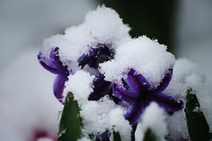 Spring colors under the weight of snow (beyondhue) Tags: snowflake snow plant ontario canada flower color ice spring purple blossom ottawa under blanket bloom hyacinth beyondhue