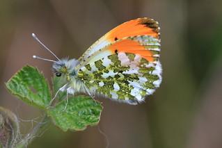 Orange Tip Butterfly (Male)