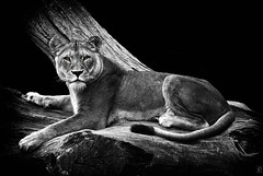 Eye Contact (chmeermann | www.chm-photography.com) Tags: portrait bw tree zoo blackwhite nikon hamburg lion portrt sw nikkor tierpark schwarzweiss lioness baum hagenbeck lwe 70300 colorkeying lwin d80 flickrbigcats highqualityanimals