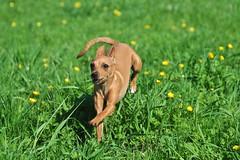 DSC_2225 (Fotodesign Silke Rauth) Tags: wiese mimi hund pinscher frhling lwenzahn hundefotografie