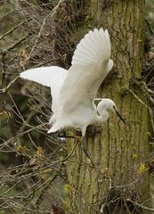 Little Egret ( Egretta garzetta ) (DaveGray) Tags: littleegret egrettagarzetta birds swellwoodreserve rspb somerset england uk unitedkingdom canoneos500d flying flight